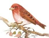 Purple Finch Watercolor Bird Print