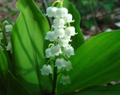 7 Live fully rooted, Lily of the Valley Plants, Convallaria Majalis, Our Ladys Tears, or May Lily, Perennial, (Outside of USA- Roots Only) - edolena
