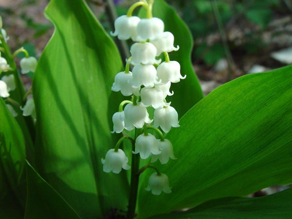 Limited Time Offer, 8 Live fully rooted, Lily of the Valley Plants, Convallaria Majalis,  (Outside of USA- Roots Only)