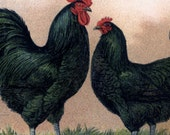 1909 Vintage German Colorful Chicken Rooster Breeds farm Animals Chromolithograph Original Print