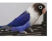 Happy the Violet-Masked Lovebird - custom order