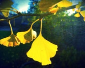 Fall- Gingko Biloba , High Quality Art Print