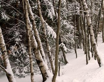winter woods, 8x10 fine art color photograph, nature