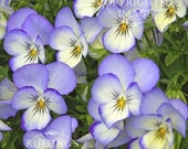 Johnny Jump-up Pansies Floral Giclee Photo Print Signed Elizabeth Ruffing, 6x8 on 8x10 inch art paper