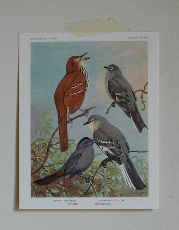 Vintage Bird Illustration, Thrasher, Catbird, Solitaire, Mockingbird, Ornithological Print