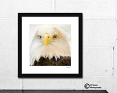 Bald Eagle Fine Art Framed Print,  Gift for Him, Framed wall decor, Ready for hanging