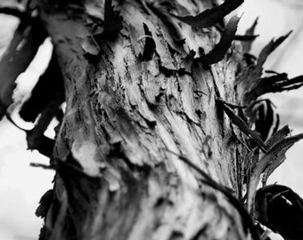 Hickory Tree Bark, Limited Edition Fine Art Print, Office wall art, Various sizes available