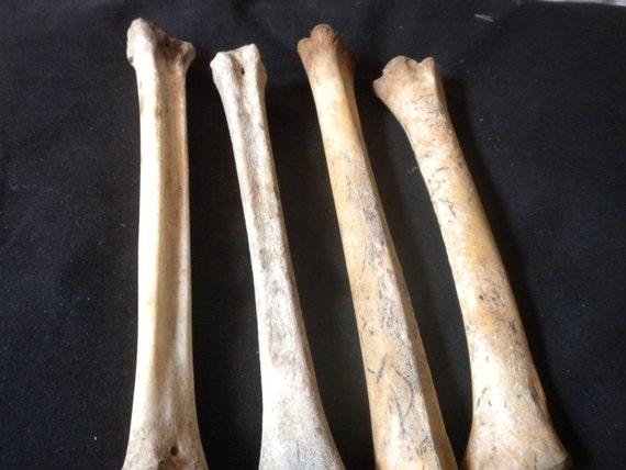 Medium Thickness/Length Leg Bones - Lot of 4