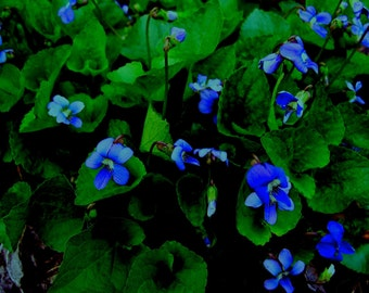 Violets ARE Blue-Fine Art Photography Print 10 x 8