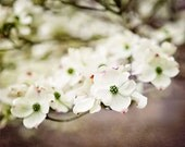 White Floral Photograph, Spring Decor, Dogwood Blossoms, Delicate, Brown, Green, Cream, Flower Picture, Nature Photograph.
