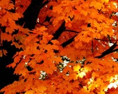 Nature Photography autumn decor,autumn leaves,tree autumn,brilliant leaves,fall colors,home decor,tree,gifts under 25,leaves,orange,copper