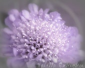 Purple Floral Photography Flower,pincushion flower,Gift idea,petals,blossoms,bloom,gray,floral home decor,lavender lilac,baby nursery art