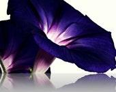 Morning Glory Floral Photography Purple,bold,Gifts under 25,lilac,spring,summer,stunning decor,deep rich purple,aubergine,amaranthine