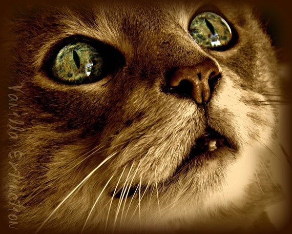 Feline Cat Photography Sepia,eyes,Gifts under 25,gold,green eyes,kitty,closeup of kitty,copper eyes,love,gorgeous kitty print,tabby cat