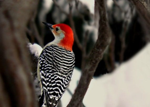 Woodpecker Bird Photography Red Bellied,black and white striped,Gift idea,winter,snow,nature lovers decor,beautiful red head,woodpecker,