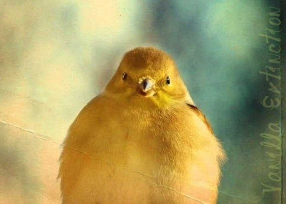 Finch Bird Photography Gold,Yellow,Gifts under 25,fine art,adorable,chick,cute,sweet,baby nursery art,nature photography,teal background