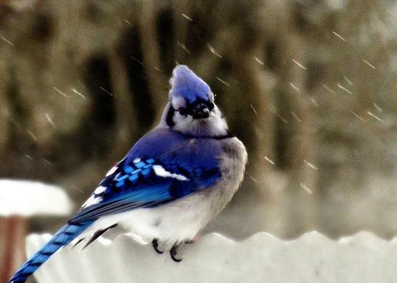 Bluejay Bird Photography Sapphire,art,Gifts under 25,snow,cold weather,blue jay,bird lovers artwork,home decor,blue jay in winter,birdbath