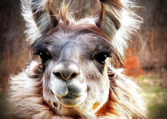 Llama Alpaca Photography pet,soft,furry,Gifts under 25,quirky,animal,farm,pretty,cute,llama lover's gift,big beautiful eyes,long eyelashes