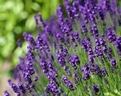 Photograph: Lavender, 10 x 15 cm glossy print, ready to be shipped