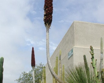 Dasylirion longissimum (Mexican grass tree).  Stunning in the succulent garden.