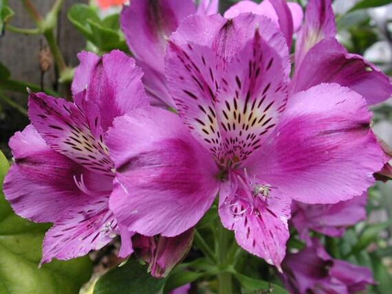 Alstroemeria Purple Hybrid