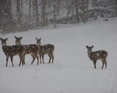 Picture Perfect Deer 8x10 Fine Art Photograph