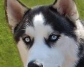 Birthday Card  - greeting card - photography - dog photo - note card - husky