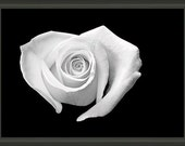 """Professionally Framed 8.75"""" x 6.50"""" Heart Shaped White Rose, Fine Art Photography by Glennis Siverson"""