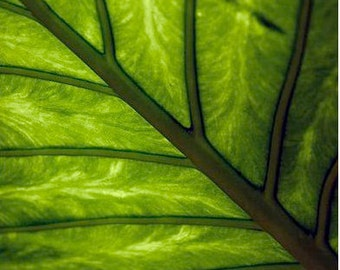 """16"""" x 20"""" Leaf Detail Print, Macro, Palm Trees,  Green Leaves, Jungle, Fine Art Photography by Glennis Siverson"""