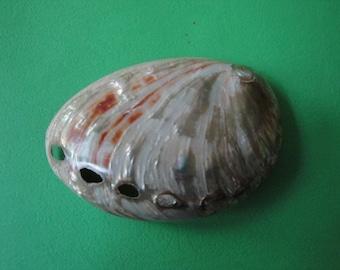 """Seashell Haliotis Ouina Shell 3"""""""