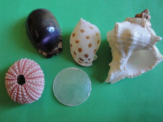 Sea Shells Seashells Lot of Urchin & Shells.