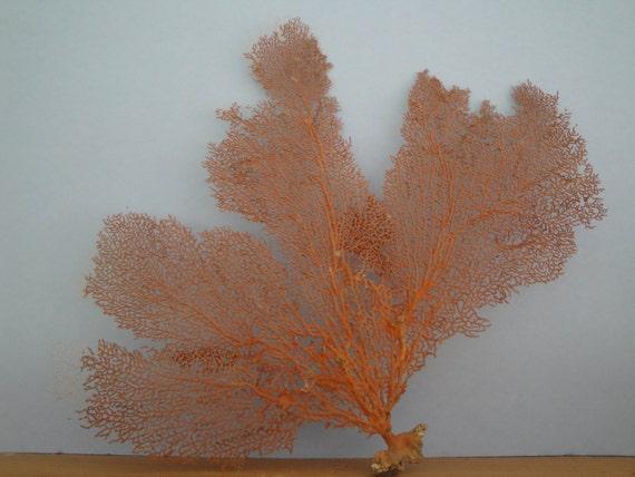 "Natural Sea Fan 18.5"" x 15"" Red  Seashells Reef Coral"