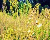 Stillness Motion- Natural Grassy Flower in Field Fine Art Photography 11x14