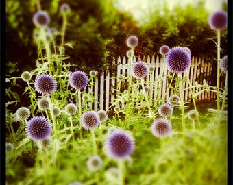 Thistle Puff Lane Instagram Fine Art Photography Summer Landscape 8x8 green purple square
