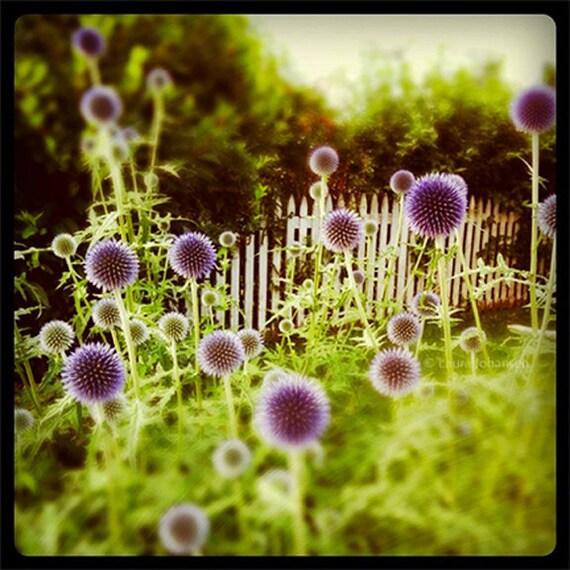 Thistle Puff Lane Instagram Fine Art Photography Summer Landscape 8x8 green purple square