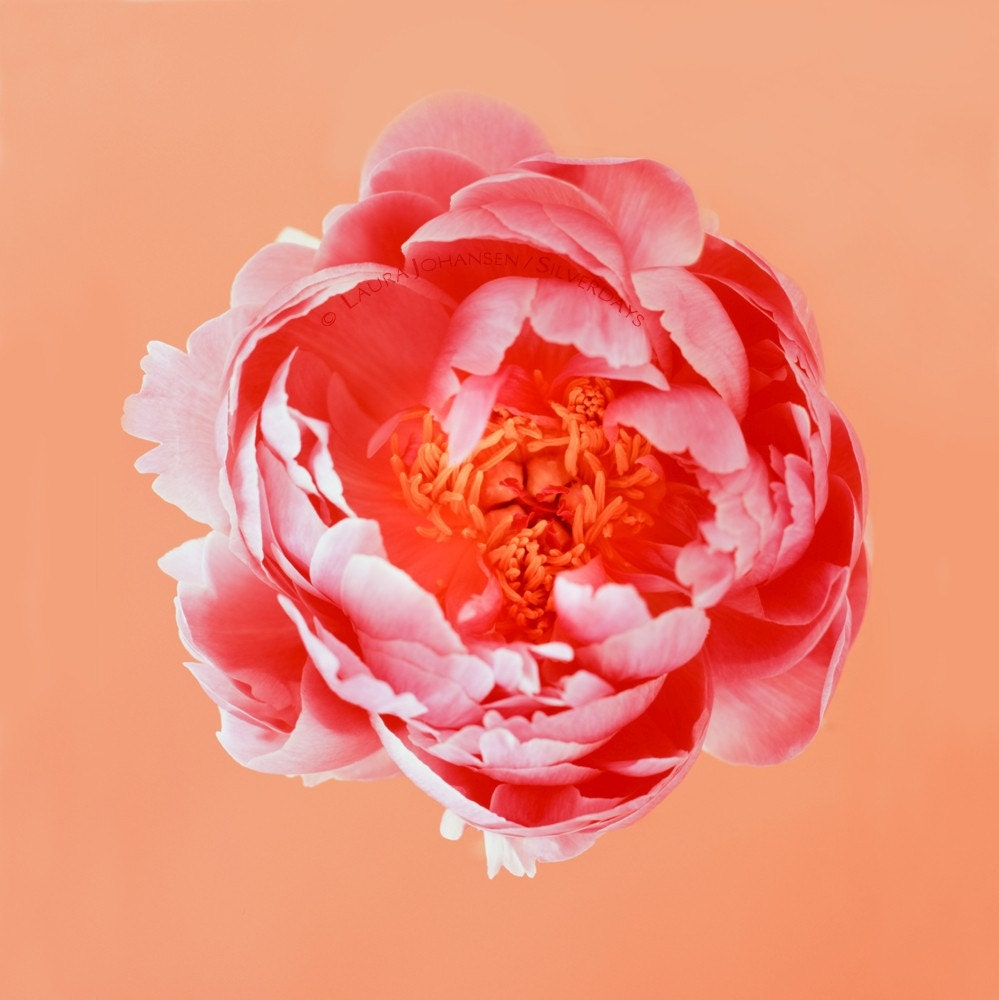 Peony Flower Pink Peach Coral On Orange Fine Art By