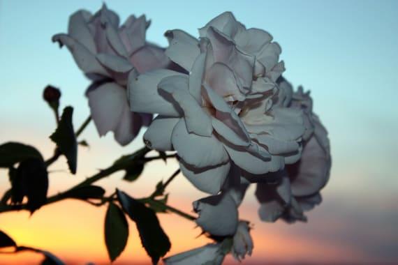 White Roses in Sunset, Geneva, NY Photo 5x7