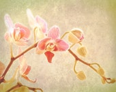 flower photography, nature photo, large art print of orchid, garden art - Blossom