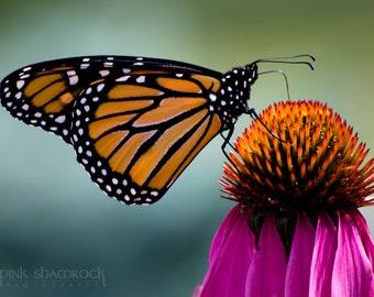 Monarch Butterfly on Cone Flower Fine Art Print