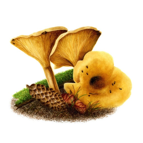 Yellow Mushrooms - False Chanterelles, watercolor painting
