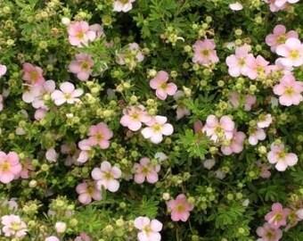 Live Plant, Potentilla fruticosa, Pink Whisper plant