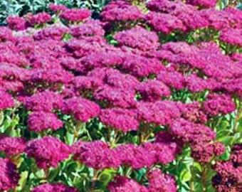Sedum, Succulent Plant, Neon Sedum Plants, Live Plant  To shop for more plants click www.etsy.com/shop/ThePlantBoutique
