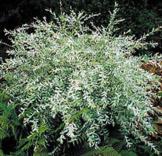 Hakuro Nishiki Willow or Tri Colored Willow  3 Plants