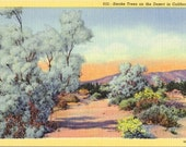 Vintage Postcard Linen - Smoke Trees on the Desert in California - Unused Postcard