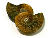 Matching Pair of Ammonite Fossils Nautilus Small Cabochon Natural Shell Cabs