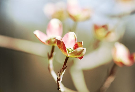pink dogwood photograph in the early spring bloom