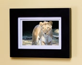 "Lioness. Fine Art, Signed Photography. 4"" x 6"" matte print of a fierce, hunter, tan, brown, intimidating, beautiful lioness."