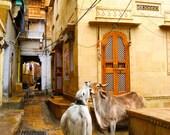 Bovine Love Jaisalmer Rajasthan India 8X10 Photograph
