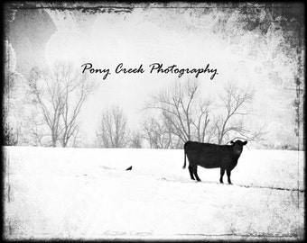 Lone Cow 8x10 Photograph