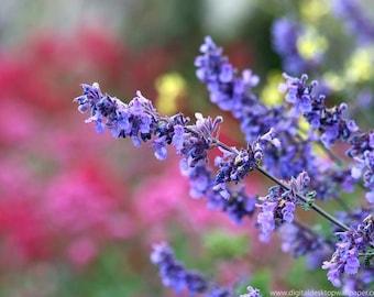 Organic Lavender Buds